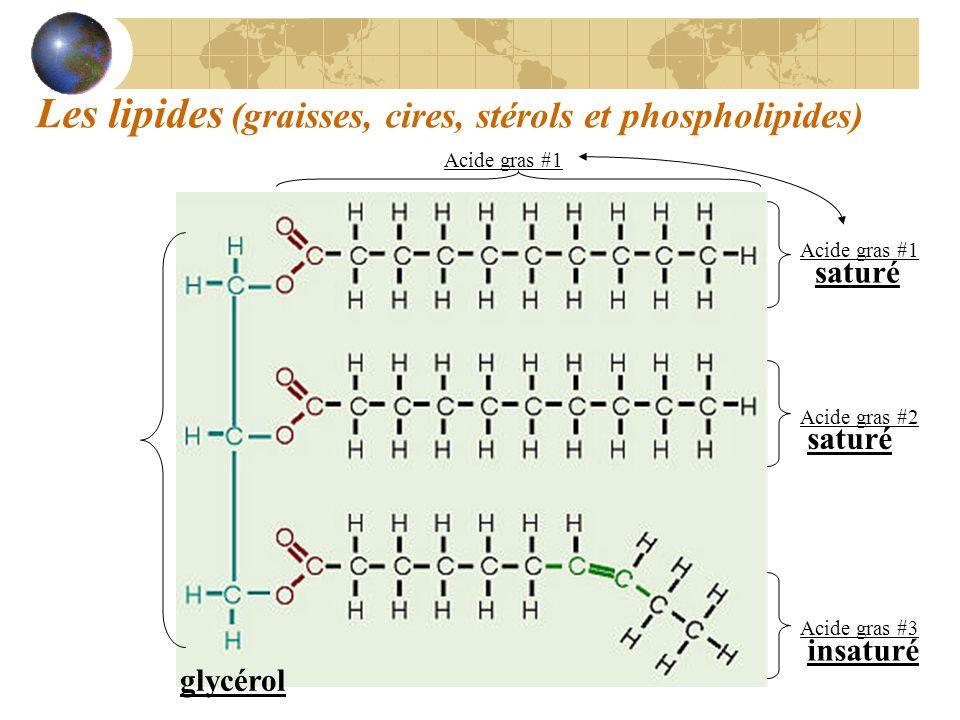 Les lipides (graisses, cires, stérols et phospholipides) glycérol Acide gras #1 Acide gras #2 Acide gras #3 Acide gras #1 saturé insaturé