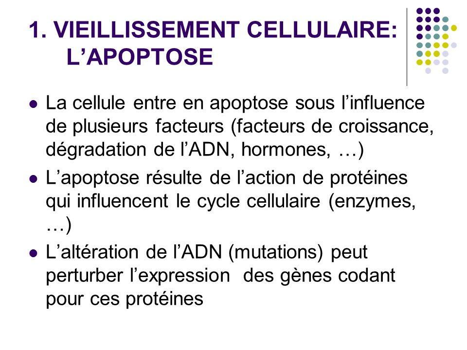 1. VIEILLISSEMENT CELLULAIRE: LAPOPTOSE La cellule entre en apoptose sous linfluence de plusieurs facteurs (facteurs de croissance, dégradation de lAD