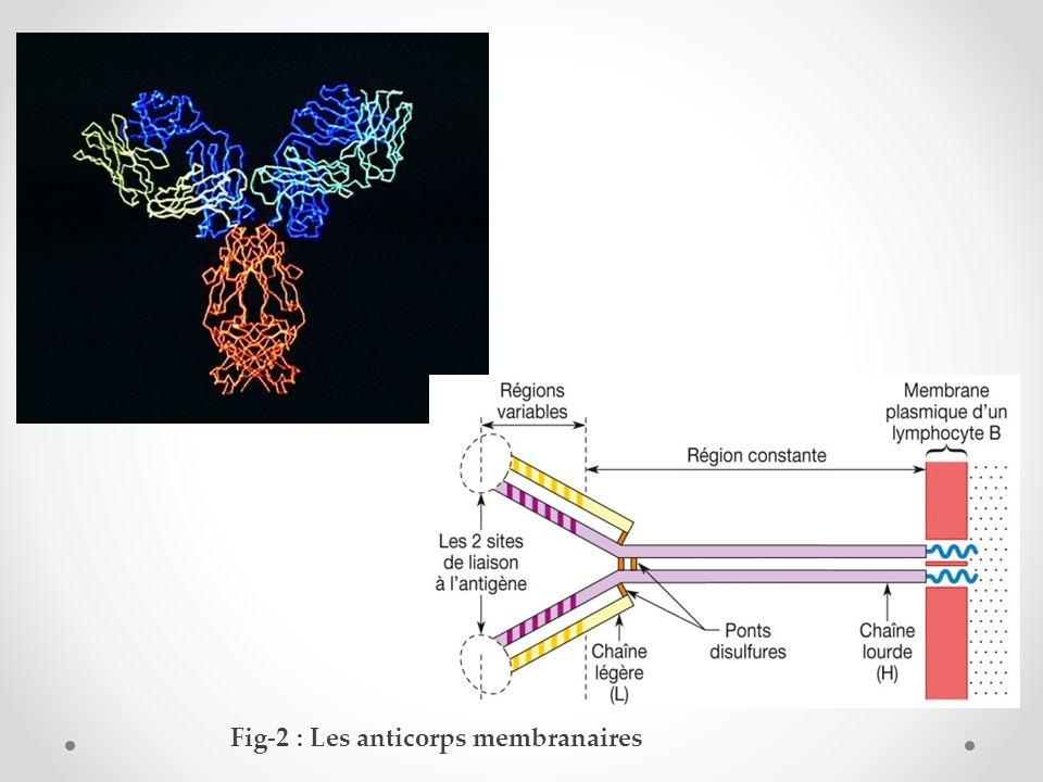 Fig-3 : lymphocyte B et un plasmocyte