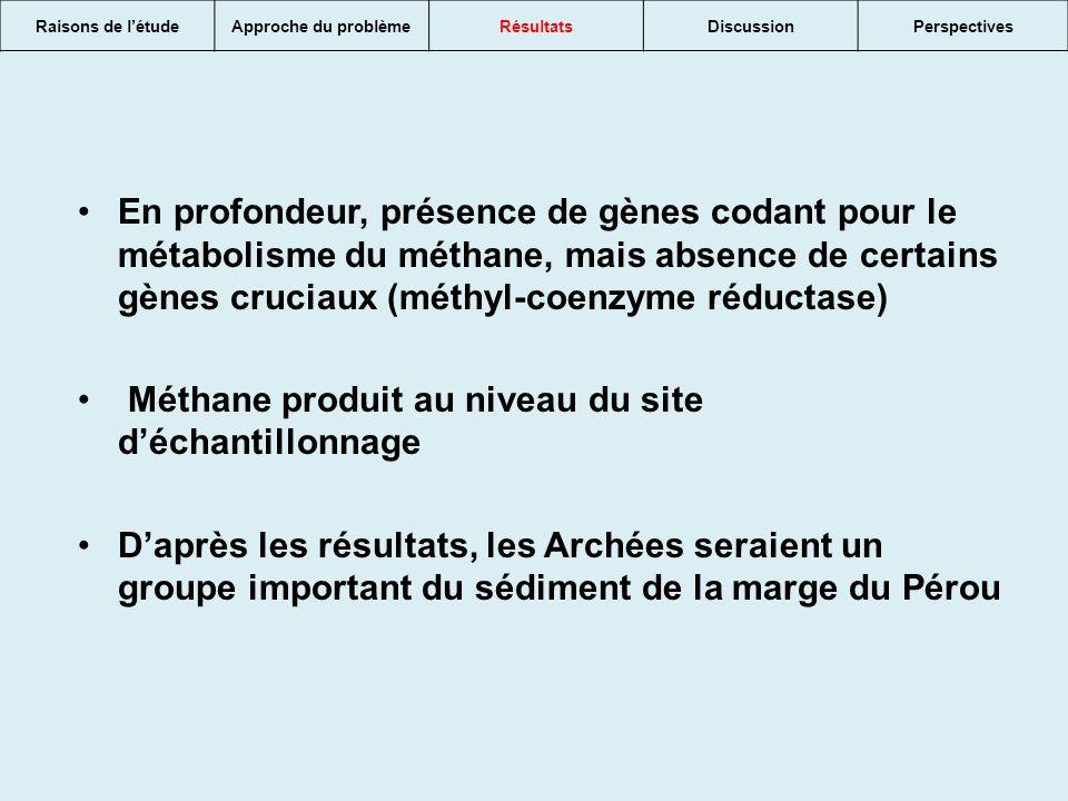 Raisons de létudeApproche du problèmeRésultatsDiscussionPerspectives En profondeur, présence de gènes codant pour le métabolisme du méthane, mais absence de certains gènes cruciaux (méthyl-coenzyme réductase) Méthane produit au niveau du site déchantillonnage Daprès les résultats, les Archées seraient un groupe important du sédiment de la marge du Pérou