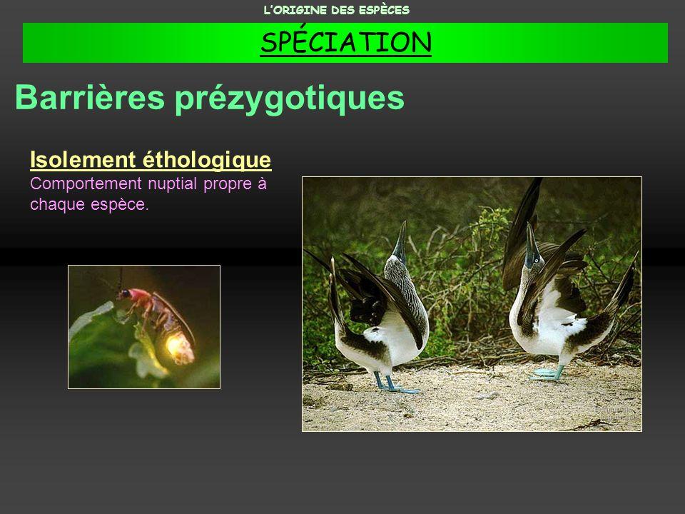 Isolement éthologique Comportement nuptial propre à chaque espèce. Barrières prézygotiques LORIGINE DES ESPÈCES SPÉCIATION