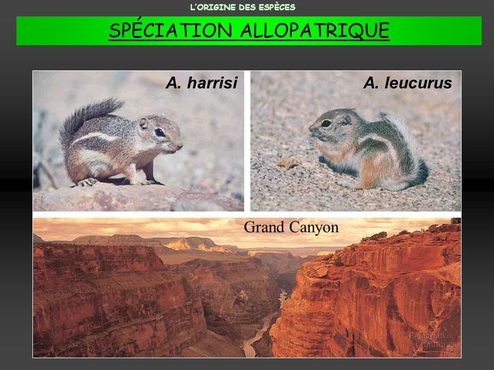 A. harrisiA. leucurus Grand Canyon LORIGINE DES ESPÈCES SPÉCIATION ALLOPATRIQUE