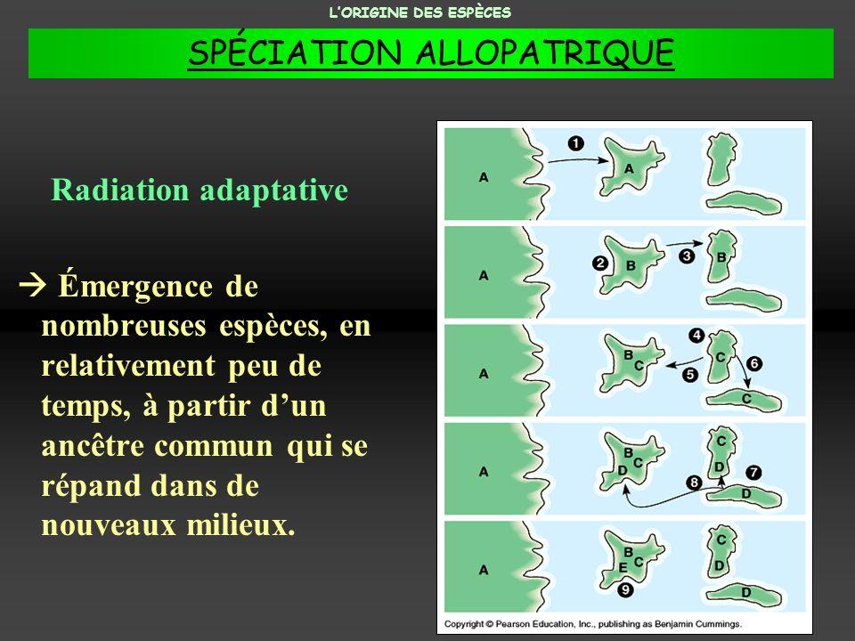 Radiation adaptative Émergence de nombreuses espèces, en relativement peu de temps, à partir dun ancêtre commun qui se répand dans de nouveaux milieux
