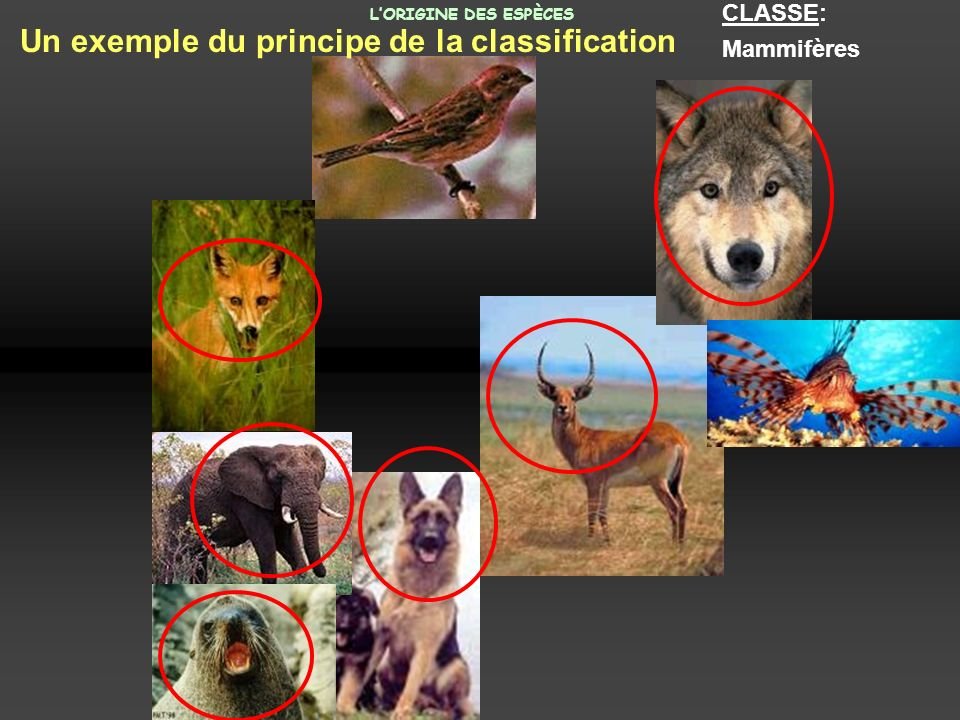 CLASSE: Mammifères Un exemple du principe de la classification LORIGINE DES ESPÈCES