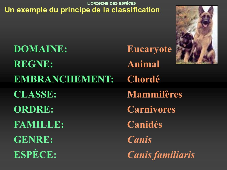 Un exemple du principe de la classification DOMAINE: Eucaryote REGNE: Animal EMBRANCHEMENT: Chordé CLASSE: Mammifères ORDRE: Carnivores FAMILLE:Canidé
