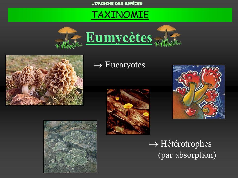 Eumycètes Hétérotrophes (par absorption) Eucaryotes LORIGINE DES ESPÈCES TAXINOMIE