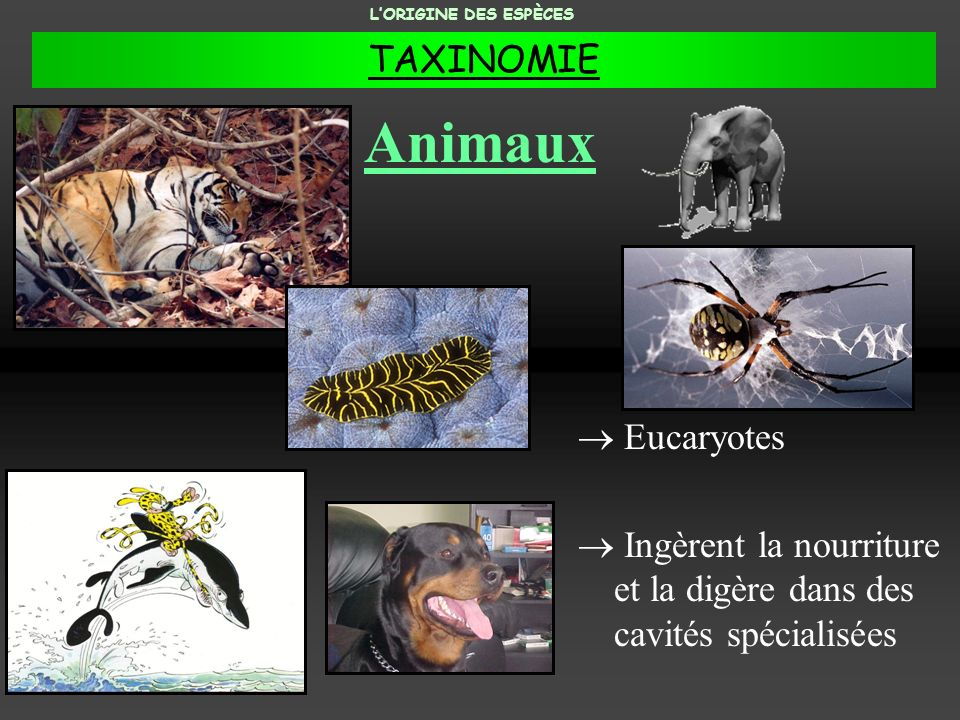 Animaux Eucaryotes Ingèrent la nourriture et la digère dans des cavités spécialisées LORIGINE DES ESPÈCES TAXINOMIE