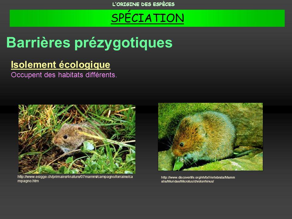 Isolement écologique Occupent des habitats différents. http://www.discoverlife.org/nh/tx/Vertebrata/Mamm alia/Muridae/Microtus/chrotorrhinus/ http://w