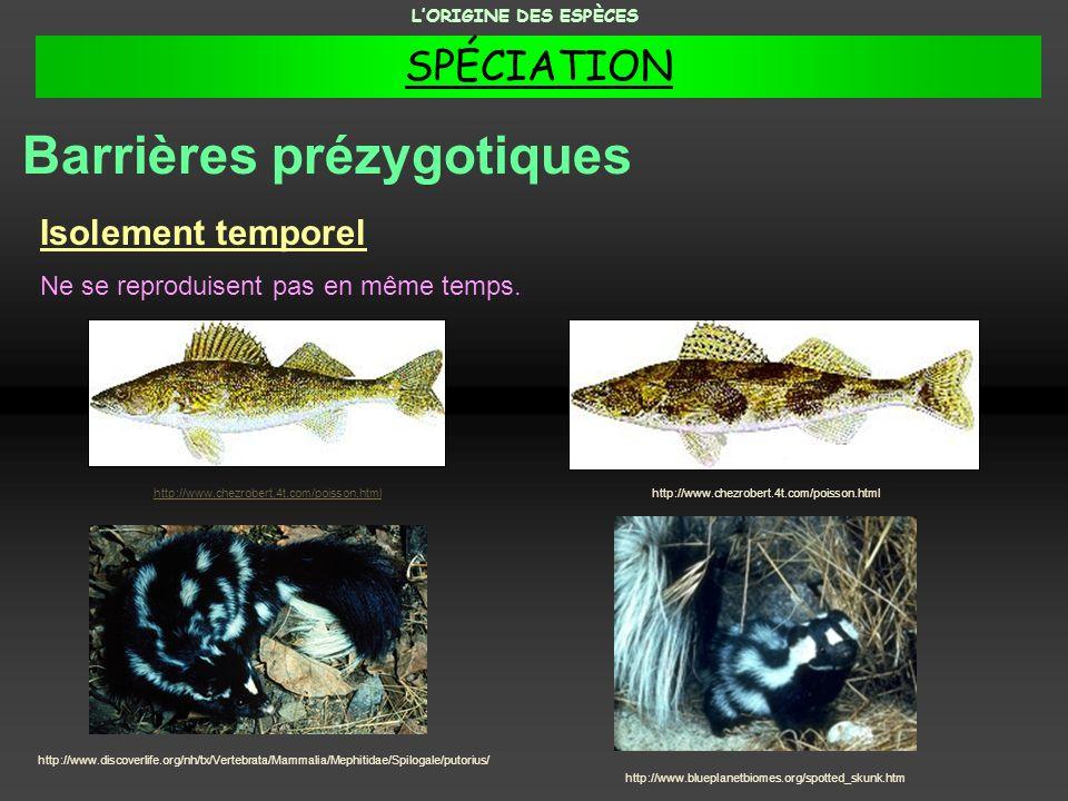 Isolement temporel Ne se reproduisent pas en même temps. http://www.chezrobert.4t.com/poisson.html Barrières prézygotiques LORIGINE DES ESPÈCES http:/