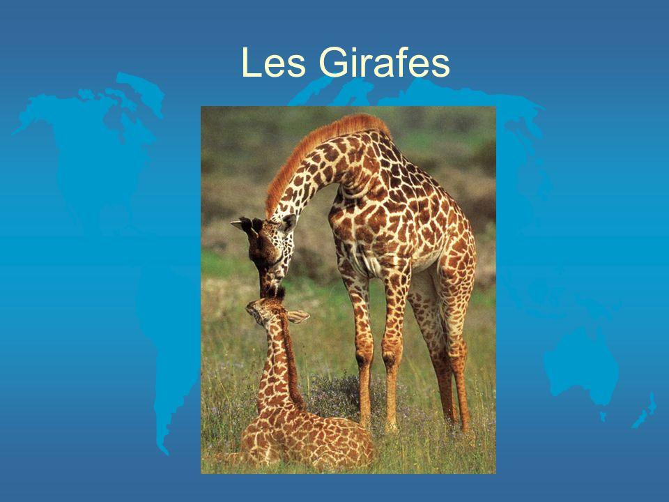 La captivité La captivité nest pas toujours bonne pour les girafes.