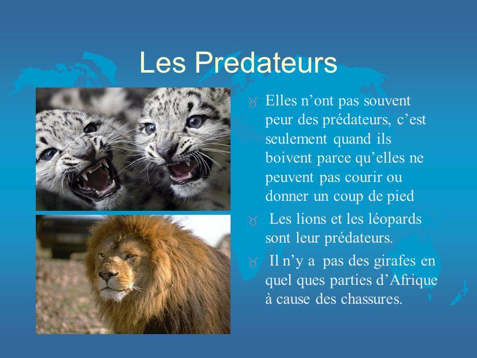 Les Predateurs _ Elles nont pas souvent peur des prédateurs, cest seulement quand ils boivent parce quelles ne peuvent pas courir ou donner un coup de pied _ Les lions et les léopards sont leur prédateurs.