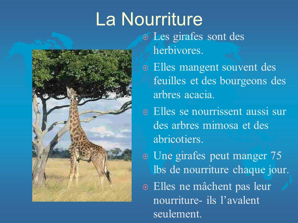 La Nourriture ¤ Les girafes sont des herbivores.