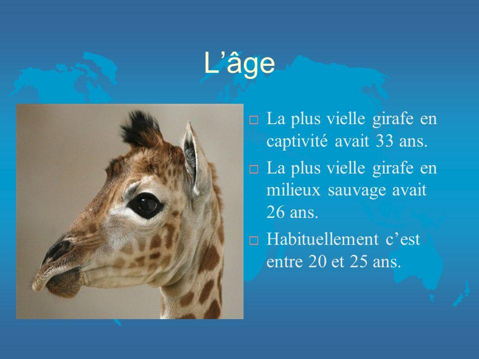 Lâge ¨ La plus vielle girafe en captivité avait 33 ans.