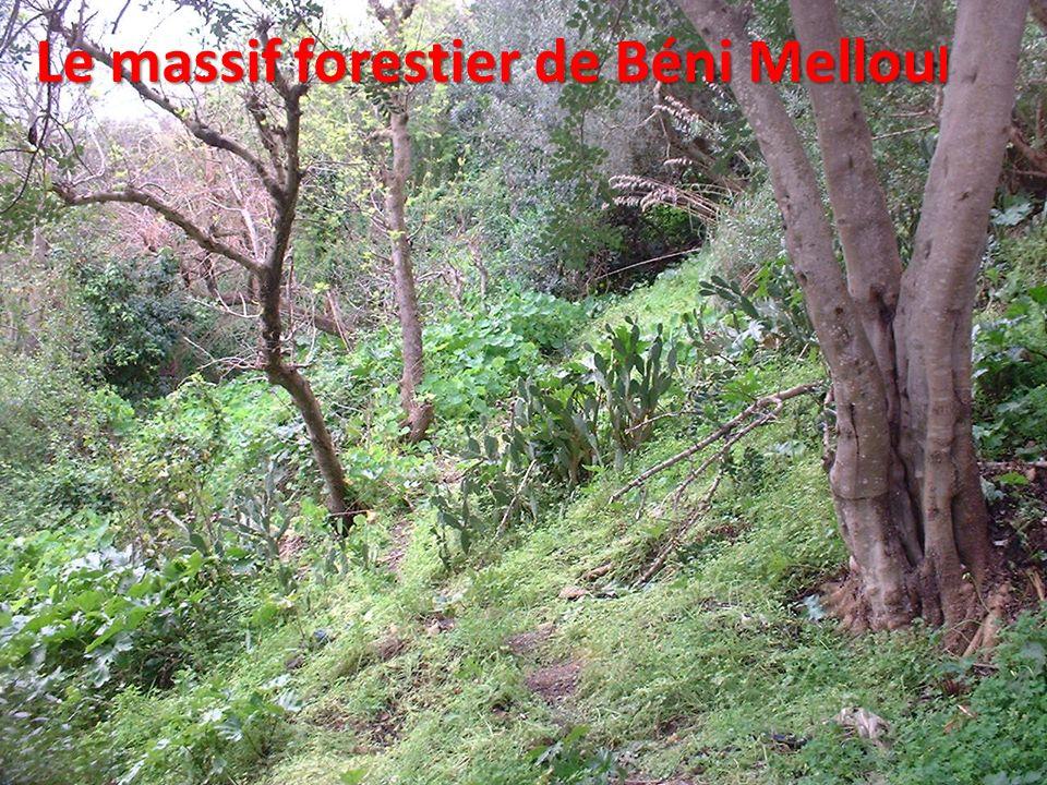 Le massif forestier de Béni Mellou l