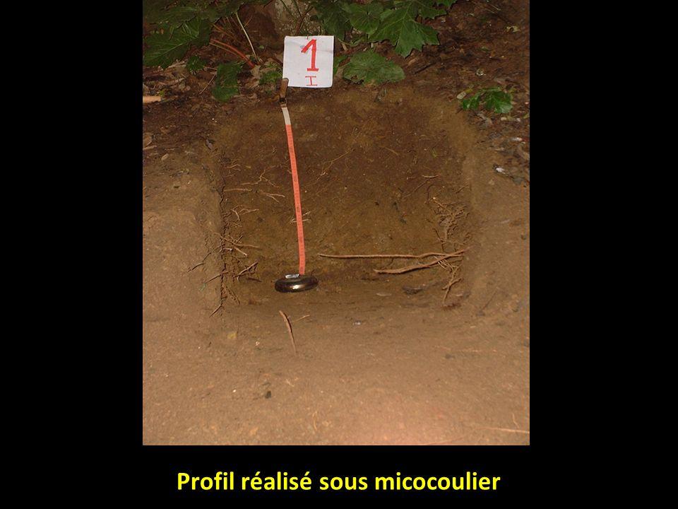 Profil réalisé sous micocoulier