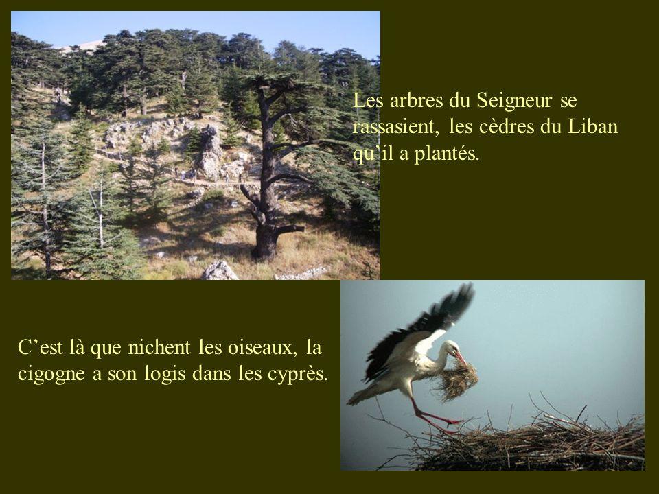 Cest là que nichent les oiseaux, la cigogne a son logis dans les cyprès. Les arbres du Seigneur se rassasient, les cèdres du Liban quil a plantés.