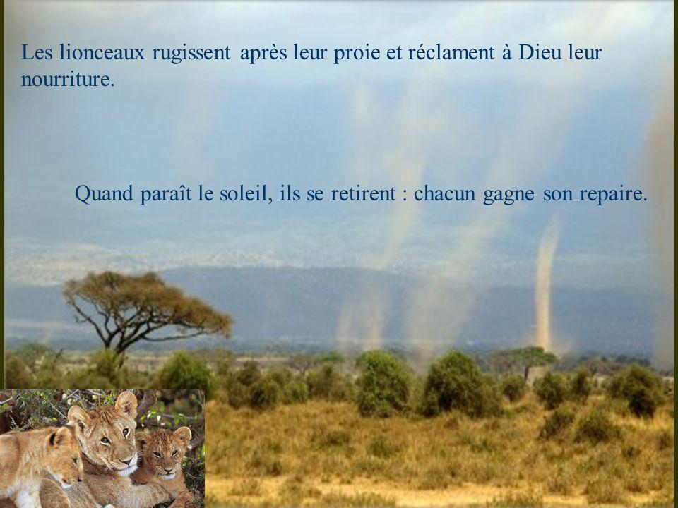 Les lionceaux rugissent après leur proie et réclament à Dieu leur nourriture. Quand paraît le soleil, ils se retirent : chacun gagne son repaire.