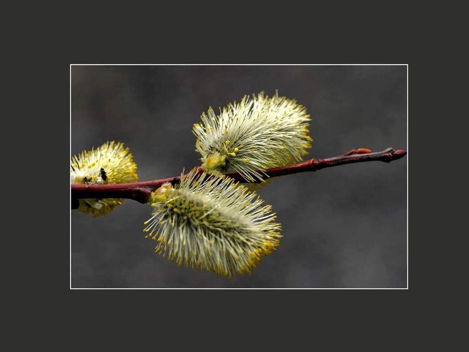 Entendez-vous l'allegro des premières éclosions du printemps à la fonte des neiges et le crescendo de la sève qui monte jusqu'au sommet des arbres?