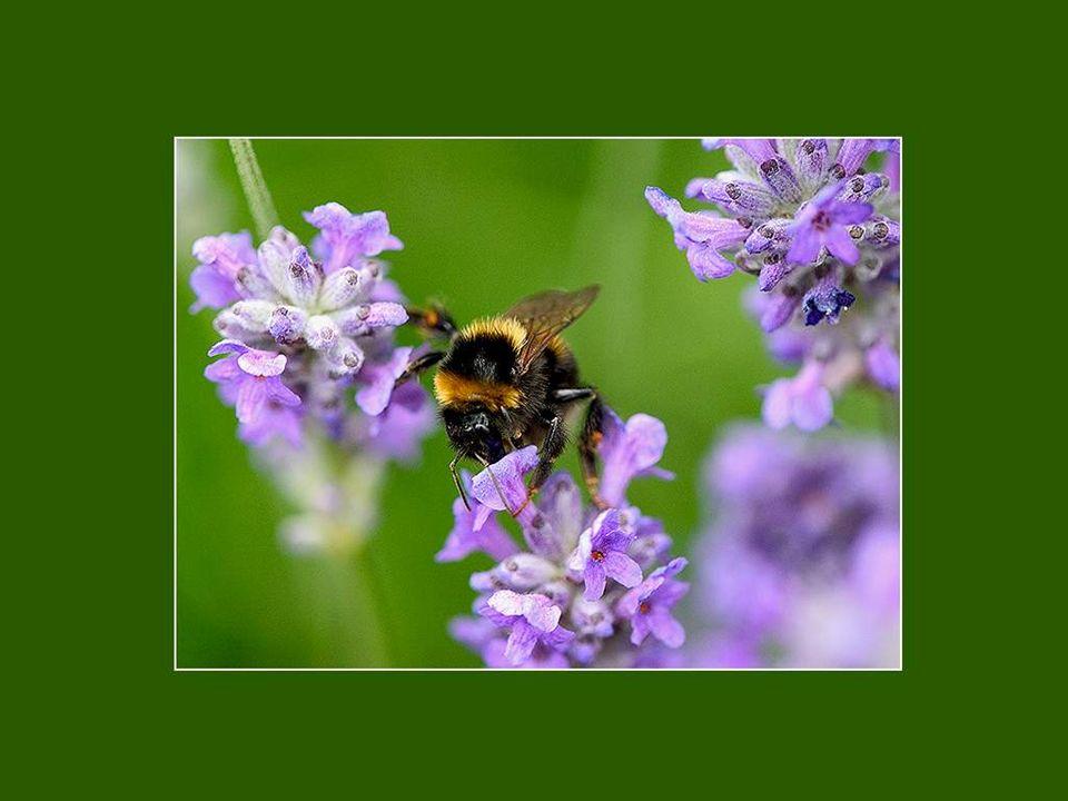 Entendez-vous le chant des abeilles et des bourdons qui vont de fleurs en fleurs, butiner le blond nectar