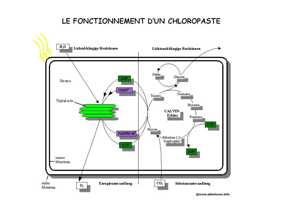 LE FONCTIONNEMENT DUN CHLOROPASTE