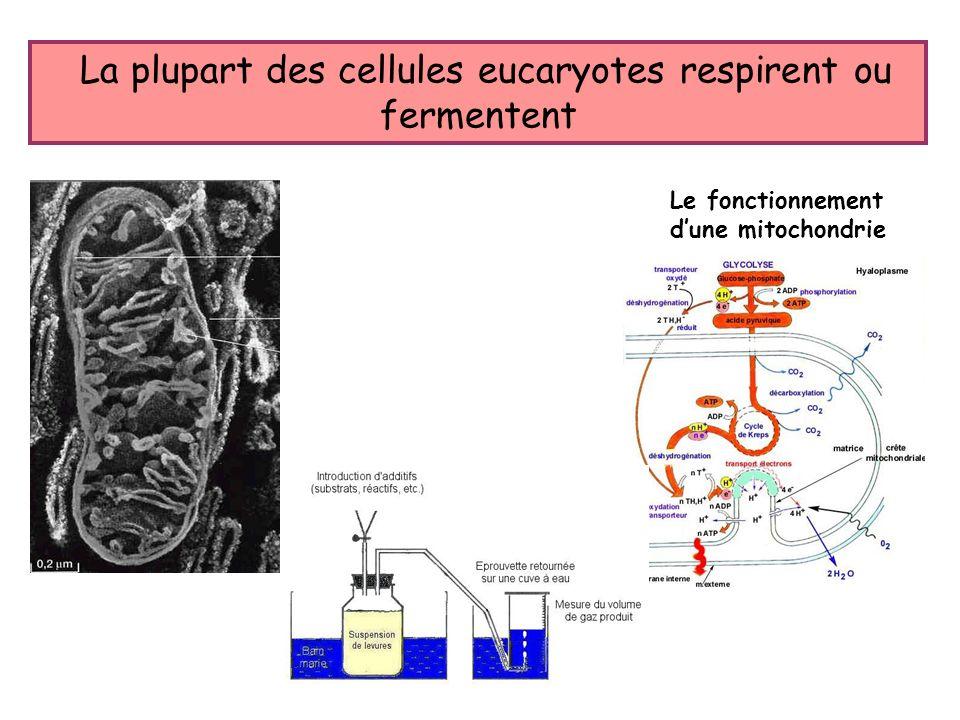 La plupart des cellules eucaryotes respirent ou fermentent Le fonctionnement dune mitochondrie