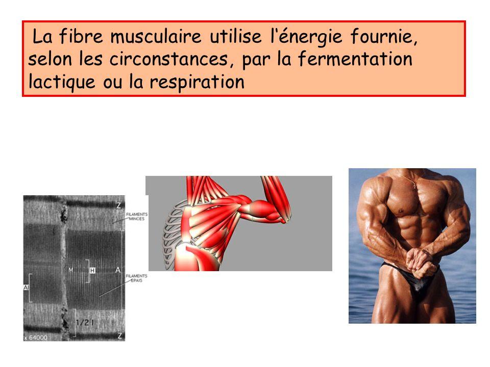 La fibre musculaire utilise lénergie fournie, selon les circonstances, par la fermentation lactique ou la respiration