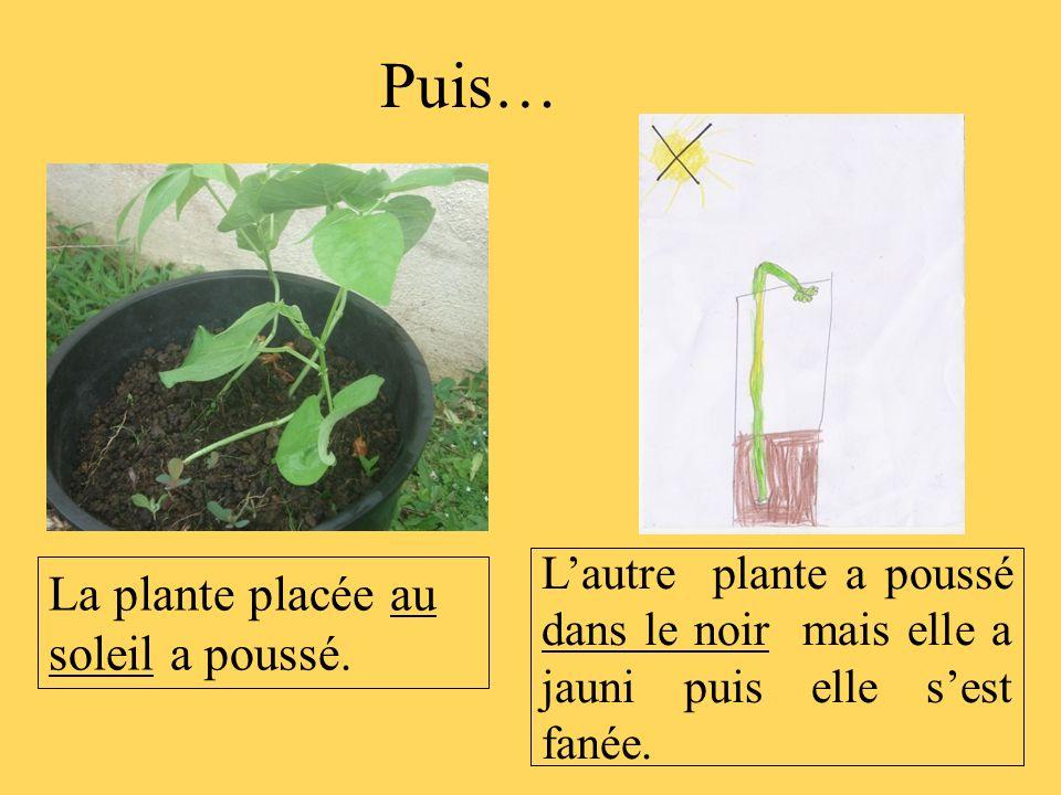 Lautre plante a poussé dans le noir mais elle a jauni puis elle sest fanée. La plante placée au soleil a poussé. Puis…