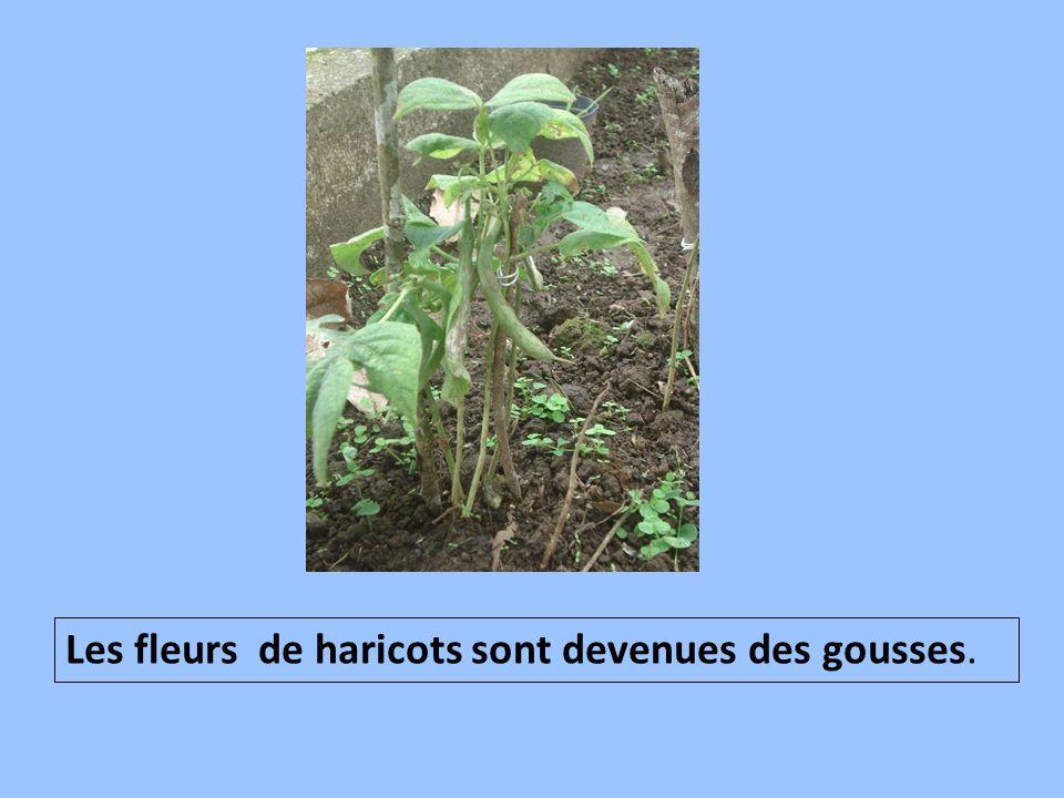 Les fleurs de haricots sont devenues des gousses.
