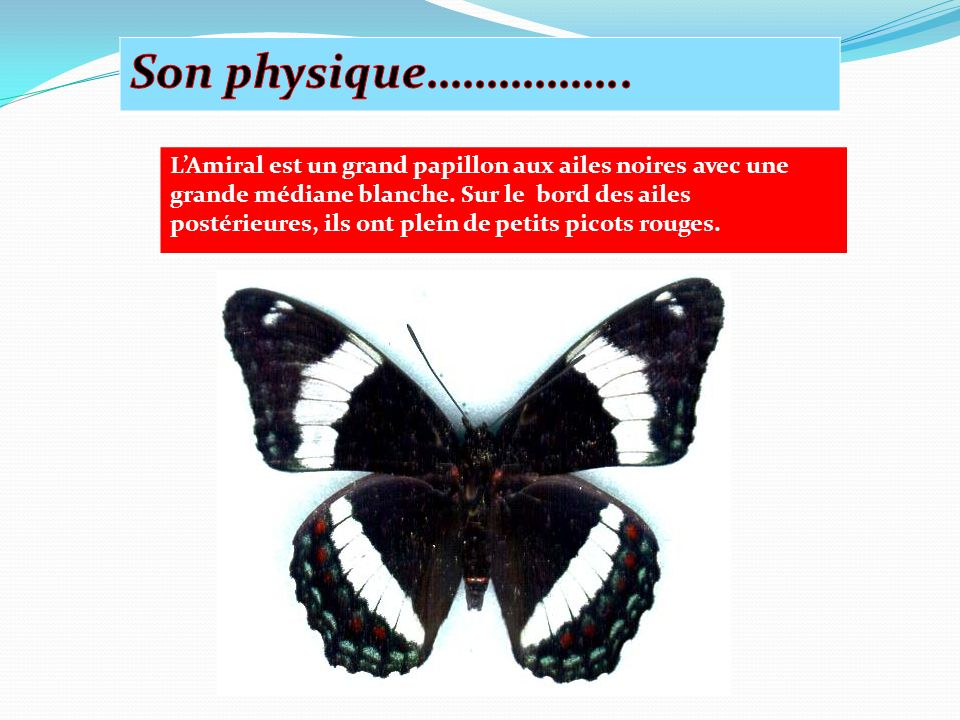 LAmiral est un grand papillon aux ailes noires avec une grande médiane blanche.