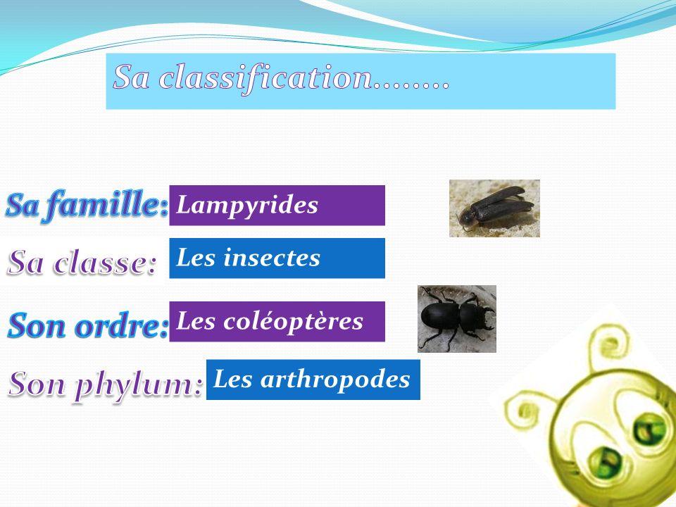 Lampyrides Les insectes Les coléoptères Les arthropodes