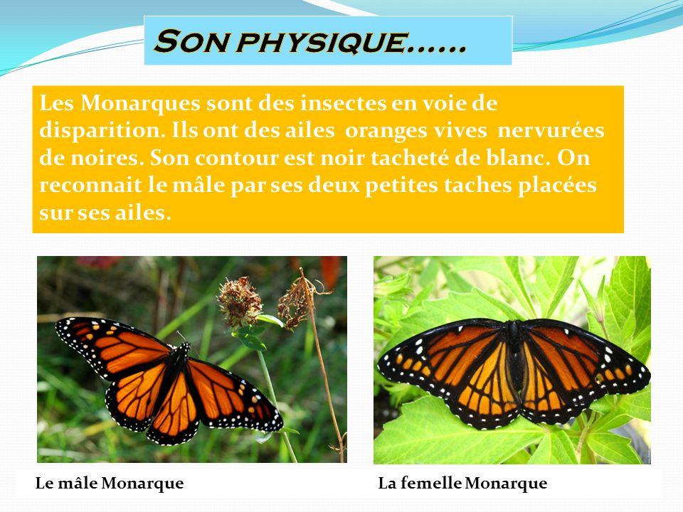Les Monarques sont des insectes en voie de disparition.