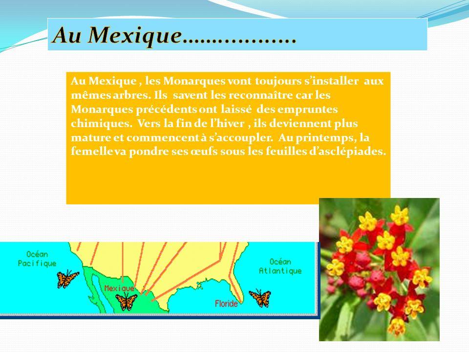 Au Mexique, les Monarques vont toujours sinstaller aux mêmes arbres.
