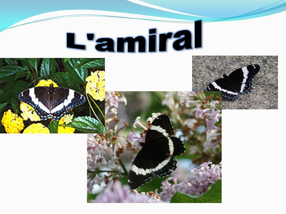 Étape #1 lœuf au printemps sur une feuille Étape #2 La chenille Étape #3 Lhibernaculum Étape #4 Sortie de son hibernaculum Étape#5 en Juin cest la chrysalide Étape#6 Et finalement…….le beau papillon!!