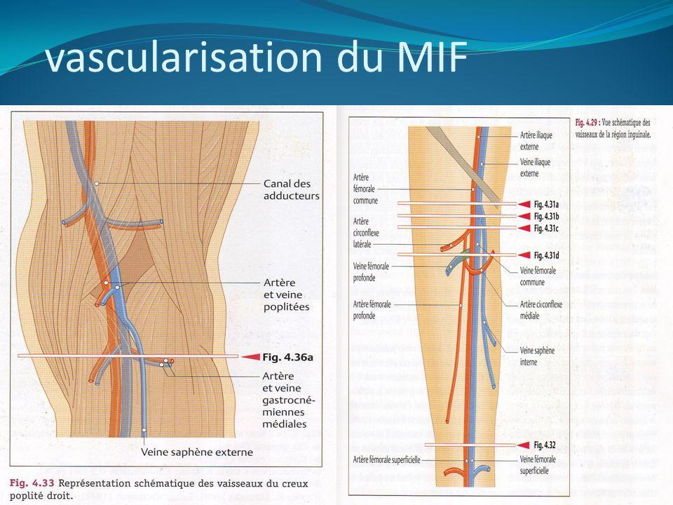 vascularisation du MIF
