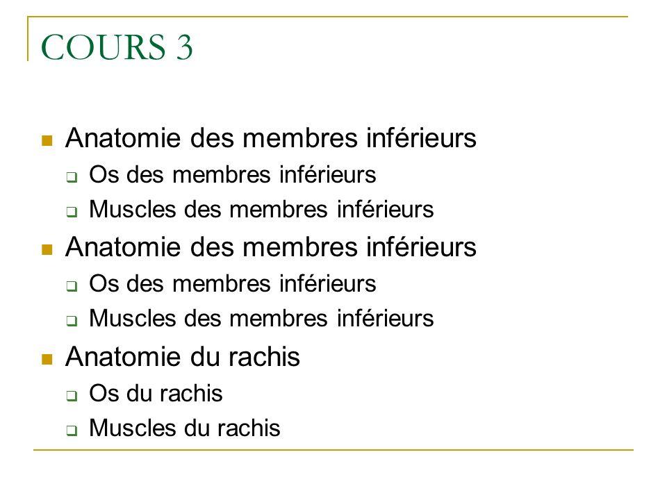 COURS 3 Anatomie des membres inférieurs Os des membres inférieurs Muscles des membres inférieurs Anatomie des membres inférieurs Os des membres inféri