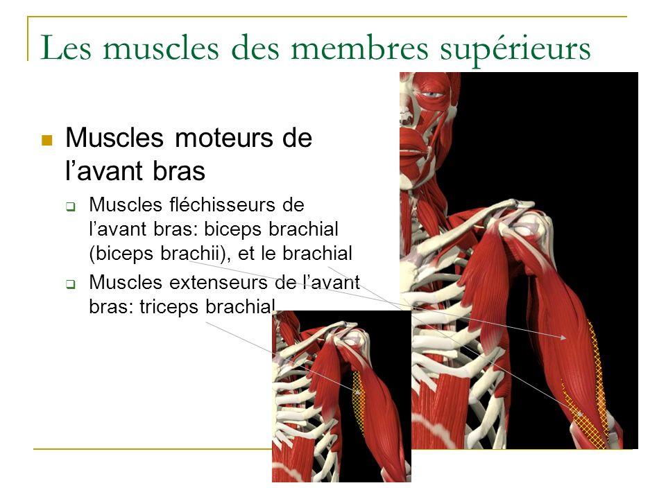 Les muscles des membres supérieurs Muscles moteurs de lavant bras Muscles fléchisseurs de lavant bras: biceps brachial (biceps brachii), et le brachia