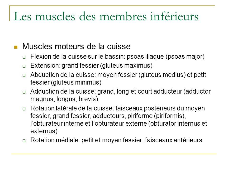 Les muscles des membres inférieurs Muscles moteurs de la cuisse Flexion de la cuisse sur le bassin: psoas iliaque (psoas major) Extension: grand fessi