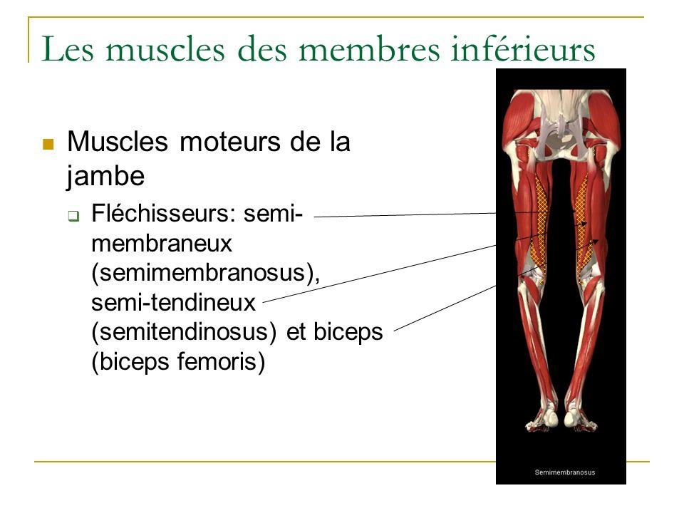 Les muscles des membres inférieurs Muscles moteurs de la jambe Fléchisseurs: semi- membraneux (semimembranosus), semi-tendineux (semitendinosus) et bi