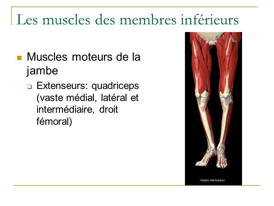 Les muscles des membres inférieurs Muscles moteurs de la jambe Extenseurs: quadriceps (vaste médial, latéral et intermédiaire, droit fémoral)