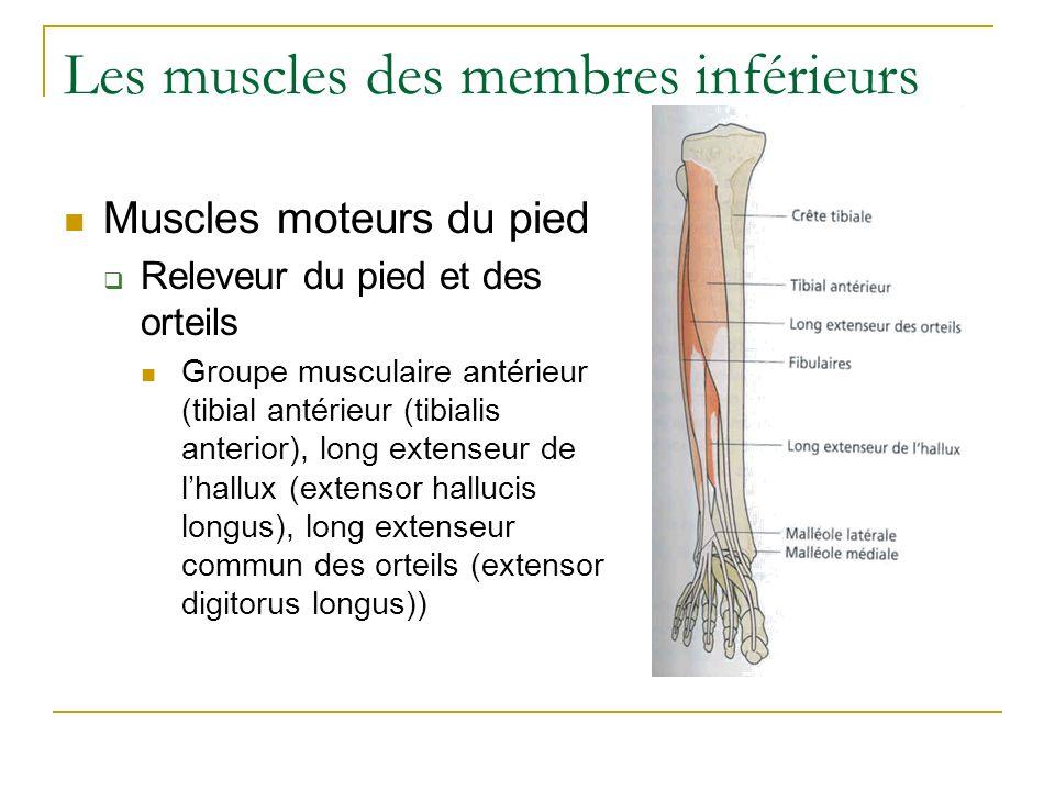 Les muscles des membres inférieurs Muscles moteurs du pied Releveur du pied et des orteils Groupe musculaire antérieur (tibial antérieur (tibialis ant