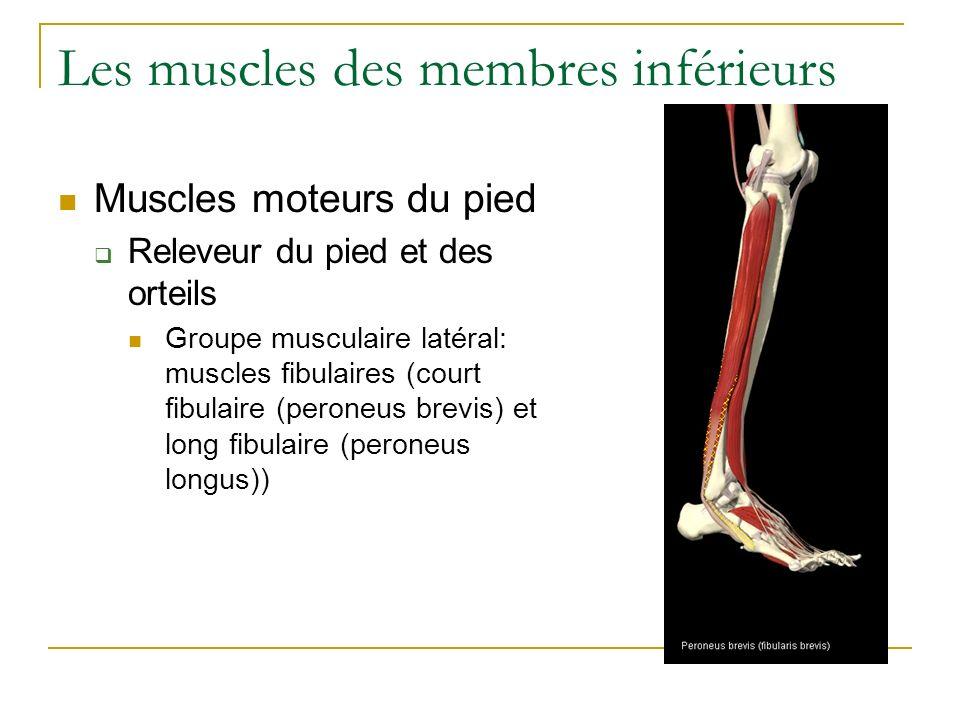 Les muscles des membres inférieurs Muscles moteurs du pied Releveur du pied et des orteils Groupe musculaire latéral: muscles fibulaires (court fibula