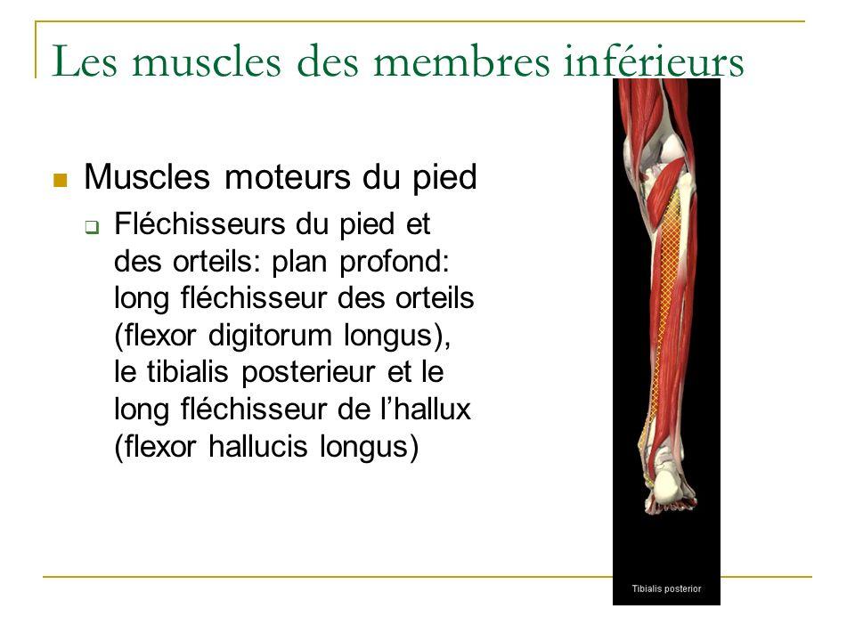 Les muscles des membres inférieurs Muscles moteurs du pied Fléchisseurs du pied et des orteils: plan profond: long fléchisseur des orteils (flexor dig