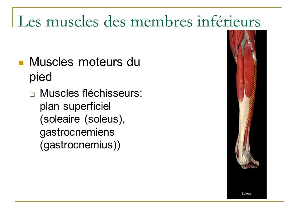 Les muscles des membres inférieurs Muscles moteurs du pied Muscles fléchisseurs: plan superficiel (soleaire (soleus), gastrocnemiens (gastrocnemius))