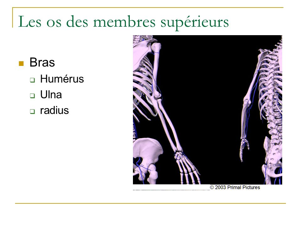 Les os des membres supérieurs Bras Humérus Ulna radius
