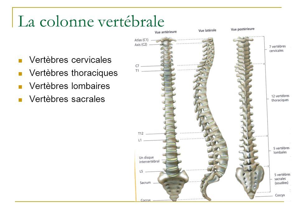 La colonne vertébrale Vertèbres cervicales Vertèbres thoraciques Vertèbres lombaires Vertèbres sacrales