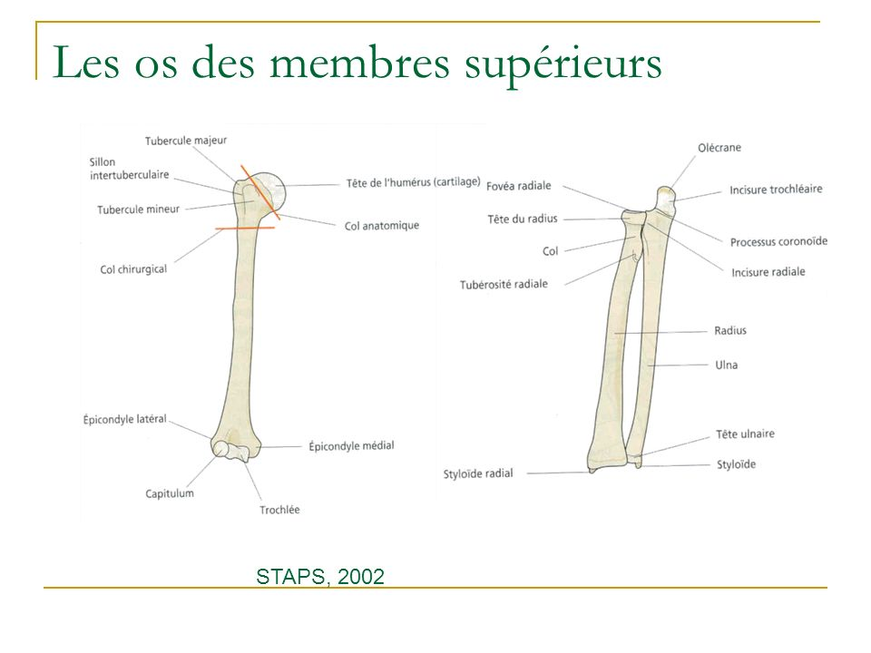 Les os des membres supérieurs STAPS, 2002