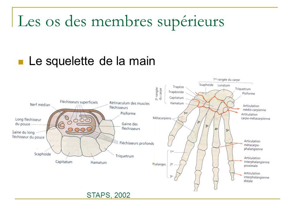 Les os des membres supérieurs Le squelette de la main STAPS, 2002