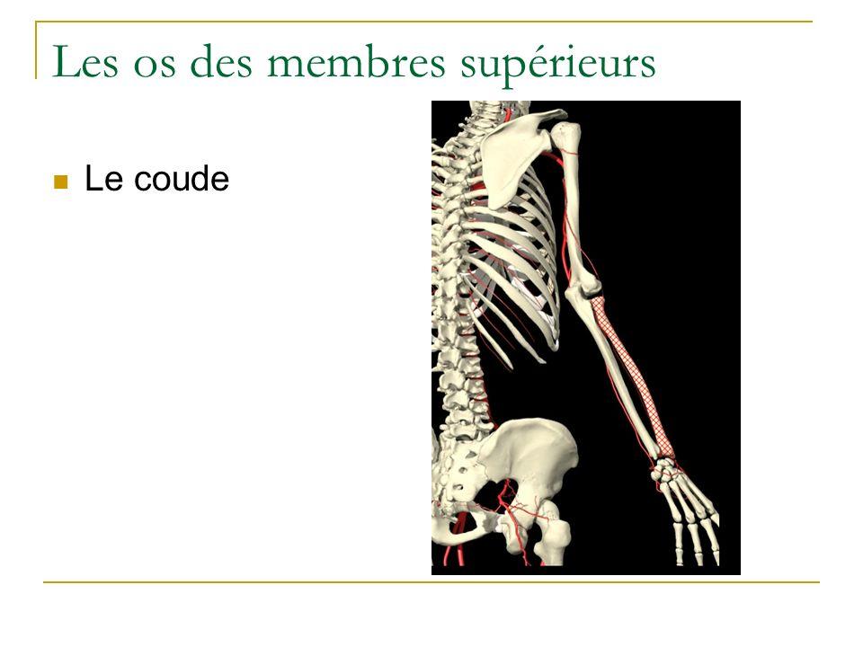 Les os des membres supérieurs Le coude