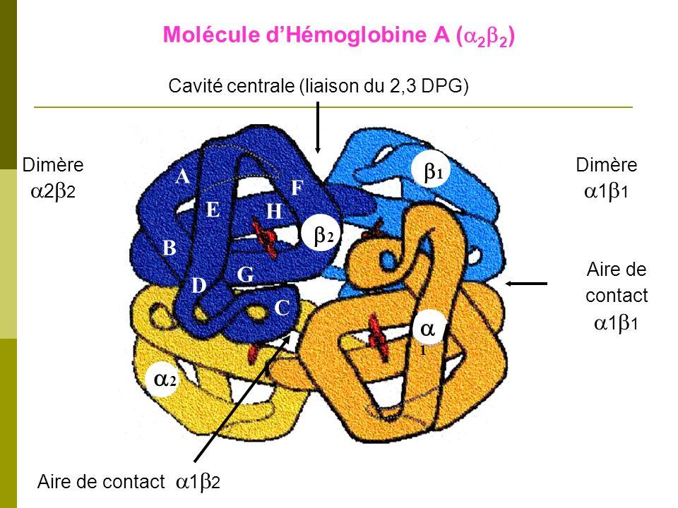 Aire de contact 1 2 Aire de contact 1 1 F H E A B D C G 2 2 1 1 Cavité centrale (liaison du 2,3 DPG) Dimère 2 2 Dimère 1 1 Molécule dHémoglobine A ( 2