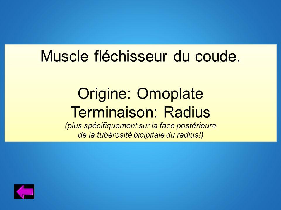 Muscle fléchisseur du coude. Origine: Omoplate Terminaison: Radius (plus spécifiquement sur la face postérieure de la tubérosité bicipitale du radius!